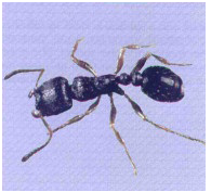 Ant control exterminators Port Clinton