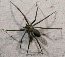 Sandusky Ohio brown recluse spider exterminators